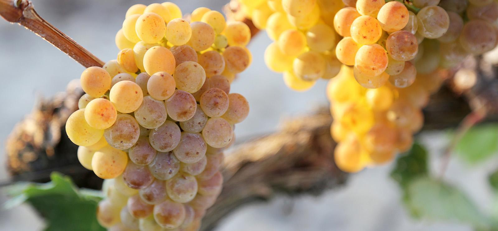 Racimos de uva blanca en la vid